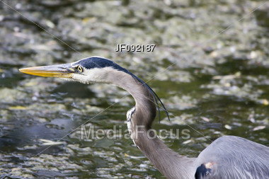 Great Blue Heron Waiting For His Next Meal To Swim By Stock Photo