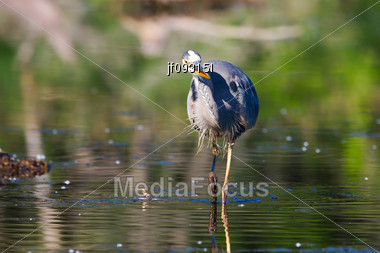 Great Blue Heron Working To Catch It's Next Meal Stock Photo