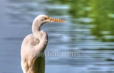 Great Egret Fishing In High Dynamic Range Stock Photo