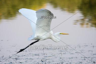Great Egret Flying Stock Photo