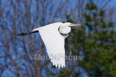 Great Egret Flying To A New Fishing Spot Stock Photo