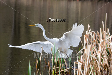 Great Egret Taking Off Stock Photo