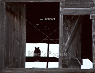 Great Horned Owl In Barn Saskatchewan Canada Stock Photo