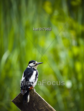 A Great Spotted Woodpecker Perched On A Fence Post Stock Photo