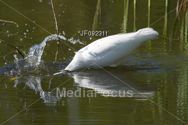 Great White Egret Dives For A Meal Stock Photo