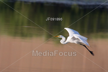Great White Egret In Flight Ready To Land Stock Photo