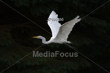 Great White Egret In Flight Over A Set Of Pine Trees Stock Photo