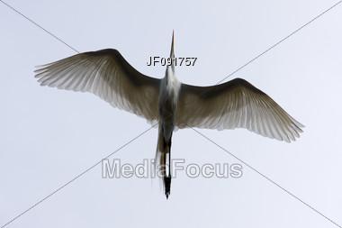 Great White Egret Flying Stock Photo