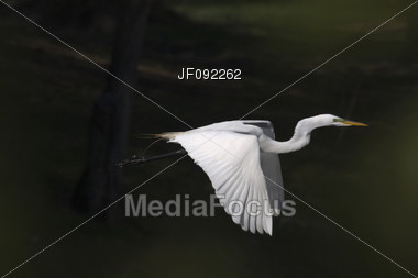 Great White Egret In Flight Over A Lake Stock Photo
