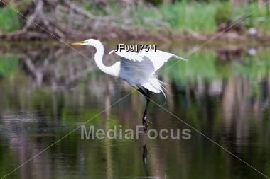 Great White Egret Landing Stock Photo
