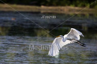 Great White Egret Landing At A New Location Stock Photo