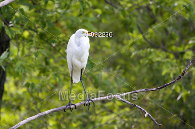 Great White Egret Perched In A Tree In A Park Stock Photo
