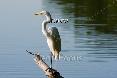 Great White Egret Standing on a Branch Stock Photo