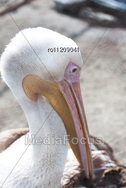 Great White Pelican Closeup - Pelecanus Onocrotalus Stock Photo