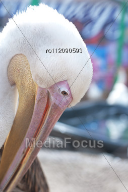 Great White Pelican Closeup - Pelecanus Onocrotalus Stock Photo