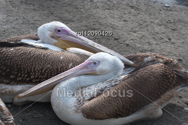 Great White Pelicans Closeup - Pelecanus Onocrotalus Stock Photo