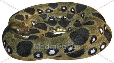 Green Anaconda Or Eunectes Murinus Or Common Anaconda Orwater Boa Isolated On White Background Stock Photo