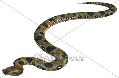 Green Anaconda Or Eunectes Murinus Or Common Anaconda Orwater Boa Isolated On White Background Stock Photo
