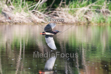 Green Back Heron Flying To A New Fishing Spot Stock Photo