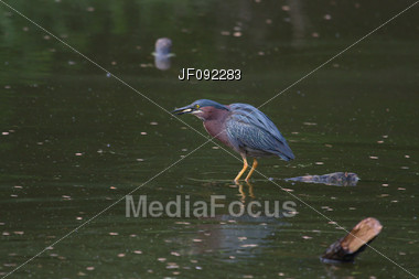 Green Back Heron With Small Fish In His Mouth Stock Photo
