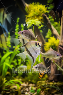 Green Beautiful Planted Tropical Freshwater Aquarium With Fish Pterophyllum Scalare Stock Photo