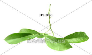 Green Branch Of Citrus-tree With Thorns And Leaf. Isolated On White Background. Close-up. Studio Photography Stock Photo