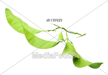 Green Branch Of Citrus-tree With Thorns And Leaf. Outside View. Isolated On White Background. Close-up. Studio Photography Stock Photo