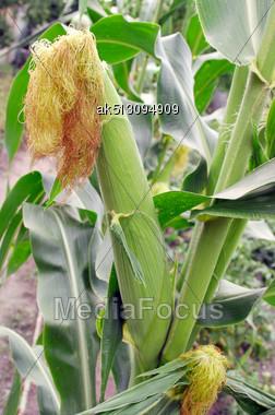 Green Corn In The Field Stock Photo