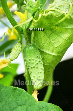 Green Cucumbers With Flowers Hang On A Green Branch. Stock Photo