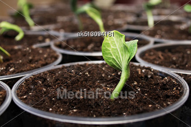 Green Fresh Pumpkin Sprouts In The Pots Stock Photo