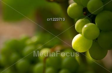 Green Grapes In Sunset Light Burgundy France Stock Photo