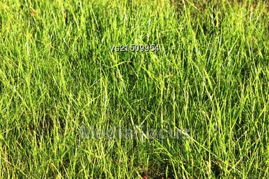 Green Grass Background. Spring Grass At Sun Light. Green Grass Texture Stock Photo