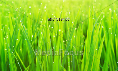 Green Grass With Dew As A Natural Background Stock Photo