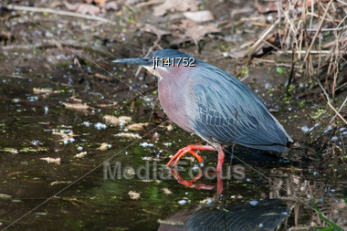 Green Heron (Butorides Virescens Virescens) Fishing For A Meal Stock Photo