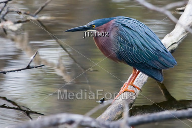 Green Heron Doing What They Do Best. Fishing Stock Photo