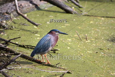 Green Heron Fishes For It's Next Meal Stock Photo
