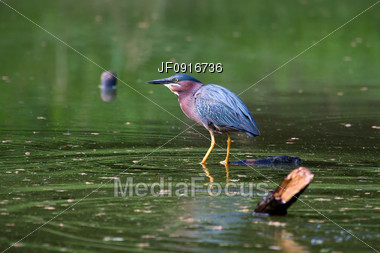 Green Heron Fishing Stock Photo