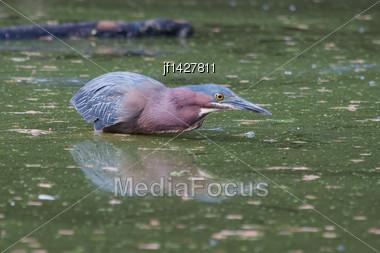 Green Heron Hunting On Water In His Habitat Stock Photo