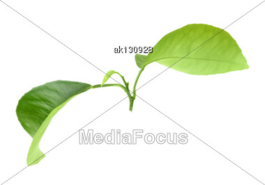 Green Leaf Of Citrus-tree On Branch. Isolated On White Background. Close-up. Studio Photography Stock Photo