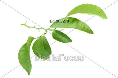 Green Leaf Of Citrus-tree On Branch With Thorns. Isolated On White Background. Close-up. Studio Photography Stock Photo
