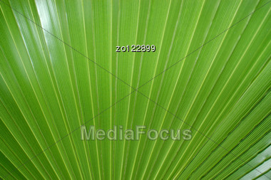 Green Leaf Of A Palm Tree As A Background Stock Photo