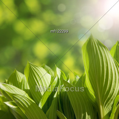 Green Leaves In Spring Sunny Morning Stock Photo