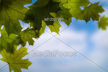 Green Maple Tree Leaves Background With Space For Your Text Stock Photo