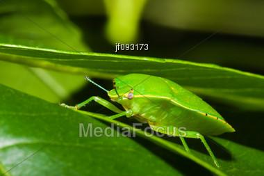Green Stink Bug Or Shield Bug (Nezara Viridula) On A Plant Stock Photo