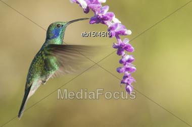 Green Violetear Hummingbird (Colibri Thalassinus) Feeding Stock Photo