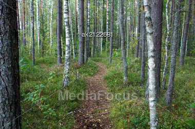 Green Way In The Forest Between Trees Stock Photo
