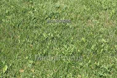 Green Wheat On A Grain Field Grass Texture Background Stock Photo