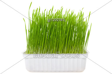 Green Wheat Sprouts Stock Photo