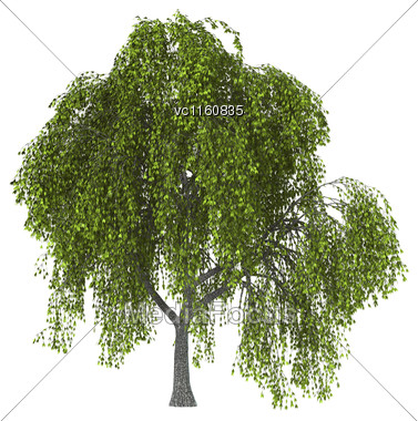 Green Willow Or Sallow Or Osier Isolated On White Background Stock Photo