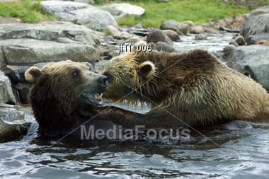 Grizzly Bears Go At Each Other In A Playful Fight Stock Photo